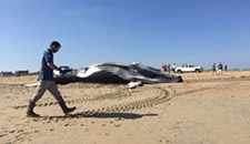 Third Dead Whale Washes Ashore in Virginia Beach