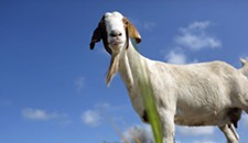 Virginia City's Landfill-Landscaping Program Ends With 16 Goats and Sheep Likely Dead