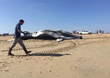 Third Dead Whale Washes Ashore in Virginia Beach