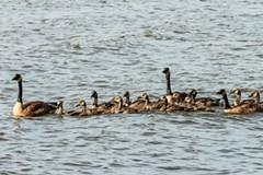 651f096e_geese.jpg