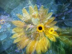 aa8b9e0c_vicky_eicher_monet_s_sunflowers_digital_photography_120.00.jpg