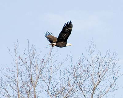 eagle_soaring_above_trees_400x318.jpg