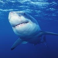 night25_shark_200.jpg