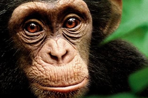 chimpanzee-movie.jpg