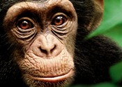<i>Chimpanzee</i> straddles a line between drama and documentary