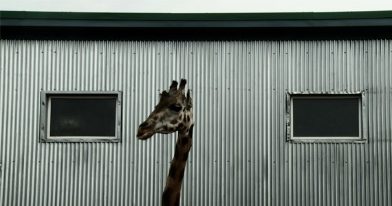 Denis Côté's Bestiaire highlights the absurdity of the zoo.