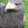 falconry introduced as new sport