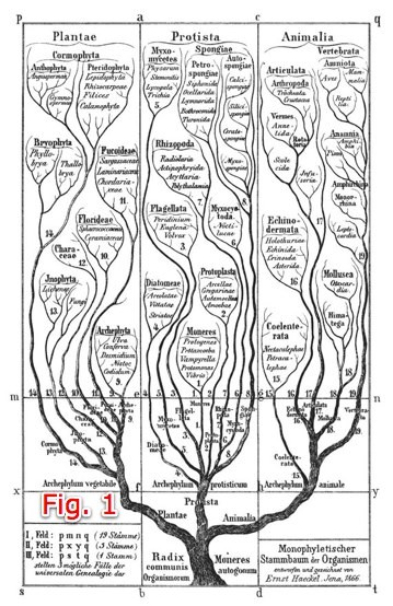 Fig. 1 Ernst Haeckel's 1866 tree of life shows all species originating with one trunk