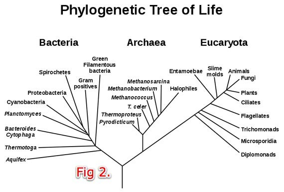 Fig. 2 the 1980s-era tree had two main brances, bacteria and eukaryota, with archae branching off the latter