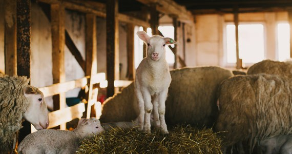 Harrier Hill—one of the province's few sheep dairy farms—is home to 40 of these cuties. - CHRISTINE WHELAN