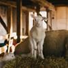 Sheep preview: Meet Harrier Hill farm