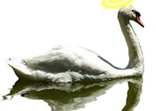 Horatio the swan's last song