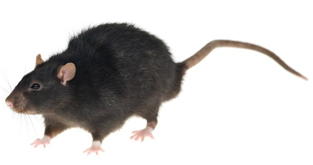 If you do have rats: seal off foodstuffs, wipe down surfaces and call pest control. Fight the infestation early and aggressively enough and you may have a chance.
