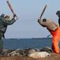 Seal slaughter on Sable Island?