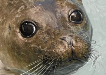 Sable Island's cod killer?