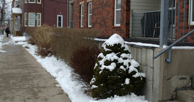 The crappy little bushes in question.