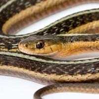 The thamnophis sirtalis (common garter snake).