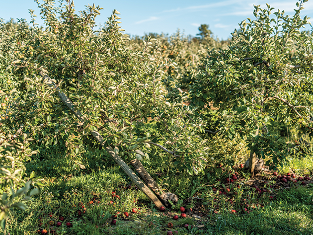Grape growers escaped Dorian's force mostly unscathed, but famers—especially apple growers—were another story. - DANIEL DOMINIC