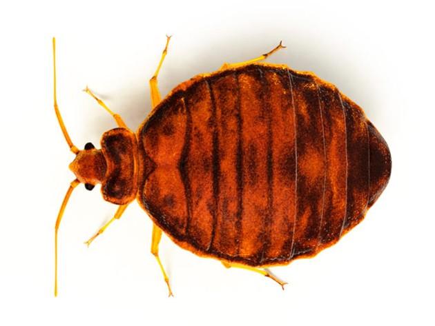 bedbug_feature1.jpg