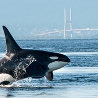 SCIENCE MATTERS: Human behaviour is at the root of orca plight