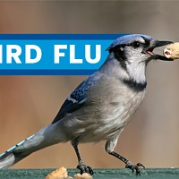 Catch Bird Flu—our Blue Jays playoff podcast