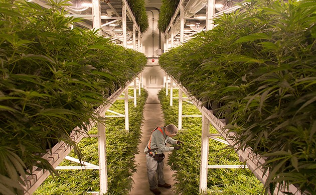By stacking plants three levels high, an Organigram grow room can yield up to 200 kilos of weed in a harvest. - SUBMITTED