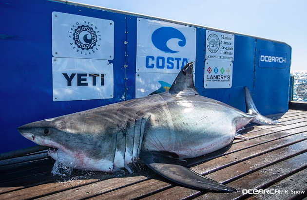 Nova the shark, pictured on Ocearch's advertisement-covered tagging platform. - VIA TWITTER