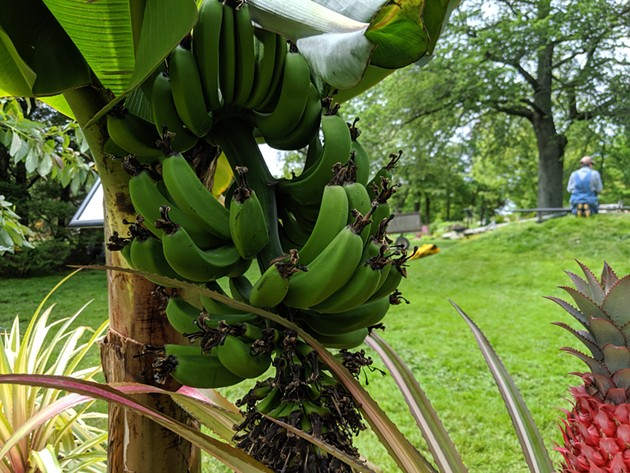 The musa acuminate is actually a plant, not a tree. - THE COAST