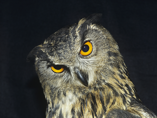 This is not a spotted owl, but if it was, it'd be only one of six left in the world. - STOCK