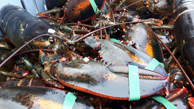 Lobster fresh out of St. Mary's Bay, which has been the epicentre of tension between Indigenous and non-Indigenous fishers. - STEFAN SINCLAIR-FORTIN