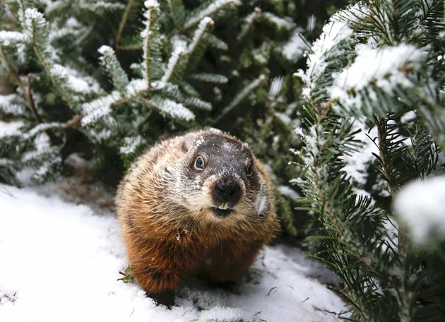 Standing serene—insensitive to storm, unsuspecting of shadow—soft shaggy soothsayer Shubenacadie Sam says spring starts soon. - COMMUNICATIONS NOVA SCOTIA