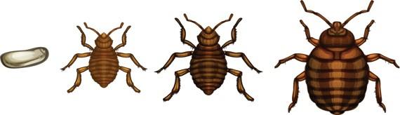 bedbug_feature5.jpg