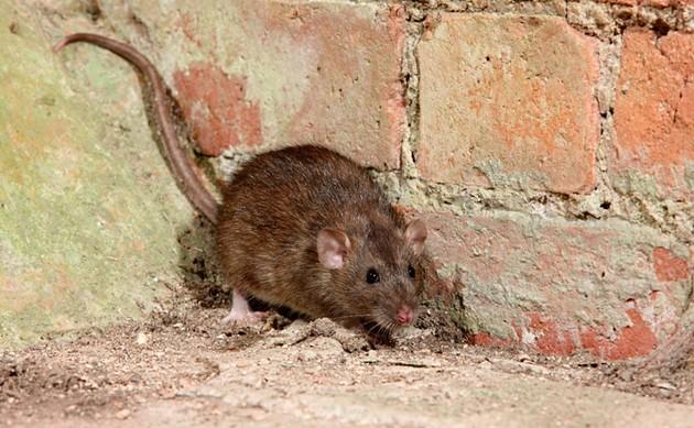 Rats off to ya'! - VIA ISTOCK