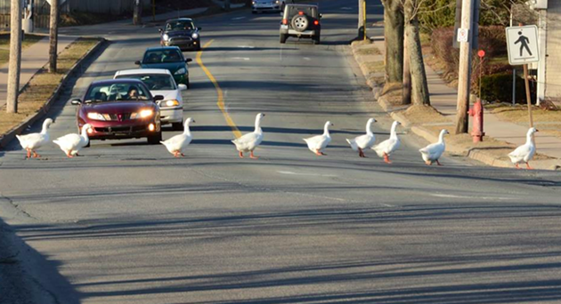 Photographer Rick Gautreau captured the geese crossing the road safely in this photograph from a few years ago. - VIA FACEBOOK