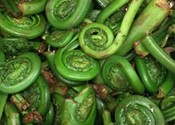 It's fiddlehead season, and they're in danger of being over-picked