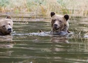 SCIENCE MATTERS: The grisly truth about B.C.'s grizzly trophy hunt