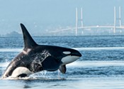 SCIENCE MATTERS: Orca survival depends on protecting chinook salmon