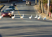 Someone ran over the Sullivan's Pond geese and people are livid