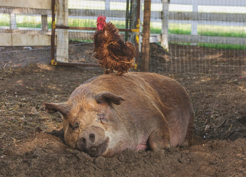 Greasy (chicken) and Emma (pig) rule the roost in The Biggest Little Farm. - ELEVATION PICTURES