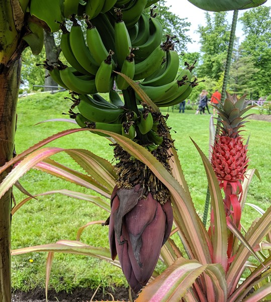 The bananas begin as flowers under the bracts of the reddish-purple male bud. - THE COAST