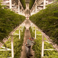 By stacking plants three levels high, an Organigram grow room can yield up to 200 kilos of weed in a harvest.