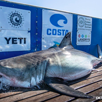 Nova the shark, pictured on Ocearch's advertisement-covered tagging platform.