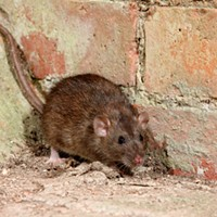 Rats off to ya'!