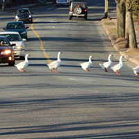 Photographer Rick Gautreau captured the geese crossing the road safely in this photograph from a few years ago.