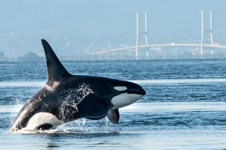 science matters human behaviour is at the root of orca plight