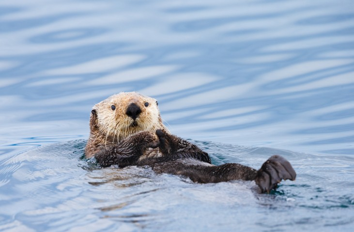 A sea otter off of British Columbia. - VIA ISTOCK