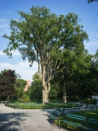 "1. The large <b>American elm</b> in the centre boulevard of the Public Gardens. ""Awe-inspiring,"" says Simmons."