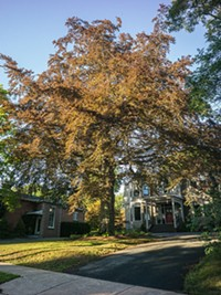 "3. A large <b>European beech</b> that sits in the centre of a circular driveway on Pryor Street. ""Stately and majestic."""
