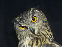 This is not a spotted owl, but if it was, it'd be only one of six left in the world.