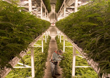 New Brunswick's high hopes for cannabis